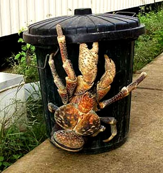 giant coconut crab facts - photo #31