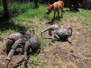 vanuatu coconut crabs