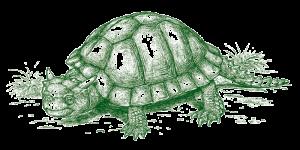 vanuatu giant turtle