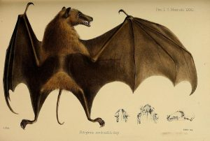 Long tailed fruit bat 1